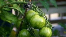 Groene tigerella tomaat