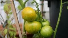 Tigerella tomaat krijgt wat kleur