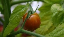 Rode tiny tim tomaat aan plant