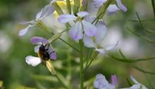 honingbij doet zich tegoed aan bloemetjes mix