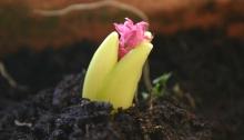 Uitgelopen hyacintbol
