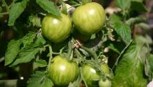 Groene tigerella tomaatjes
