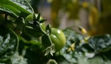 Tiny Tim tomaat