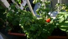 rode tiny tim tomaat