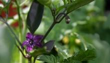 Kleine paarse bloemetjes aan paarse peperplant