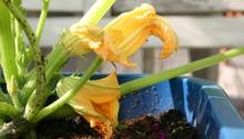 Courgetteplant met gele bloemen