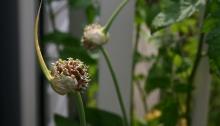 Knoflookbloem open en begint langzaam droger te worden
