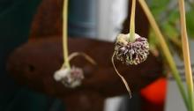Uiteindelijk laat de plant de knoppen hangen