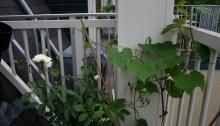 witte roos en rode druif