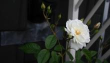witte roos uit