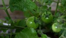 verdwaalde-tomaat-tussen-balkonbiet