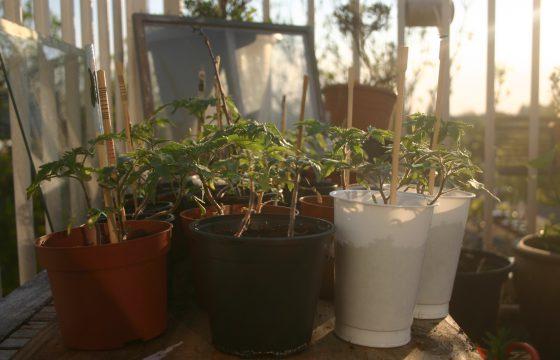 Sociale Tomatenplantjes