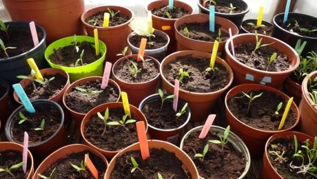 Jonge tomatenplantjes in koude kas op het dak